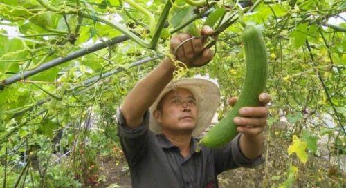 泰州海陵:大棚蔬菜让村民走上了小康之路